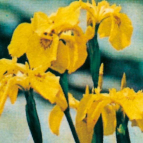 Fiore Iris Pseudacorus | Giardinidacqua.it