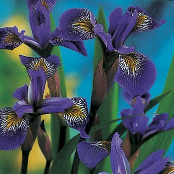 Fiore Iris Versicolor   Giardinidacqua.it