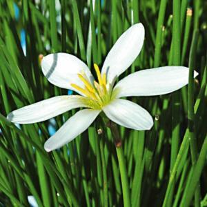 Fiore Zephyranthes | Giardinidacqua.it