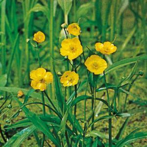 Fiore Ranunculus Lingua   Giardinidacqua.it