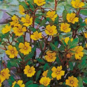 Jussea ossigenante e fiorifera | Giardinidacqua.it