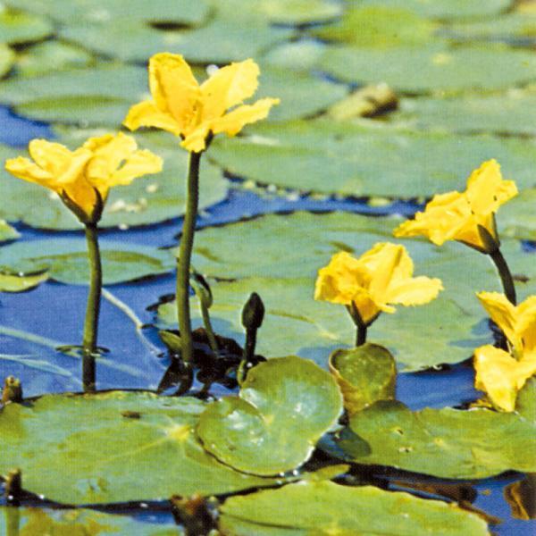 Fiore Nymphoides Peltata | Giardinidacqua.it