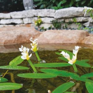 Fiore profumato Aphonogeton   Giardinidacqua.it