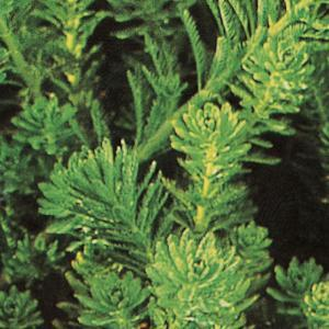 Pianta sommersa Myriophyllum | Giardinidacqua.it